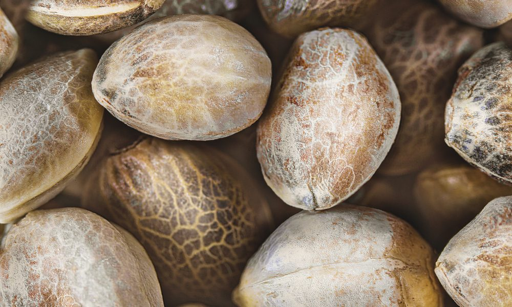 Everyhing You Need To Know About Cannabis Seeds