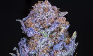 How to Grow Big Buds Indoors Eight Simple Tips to Get Quality Weed